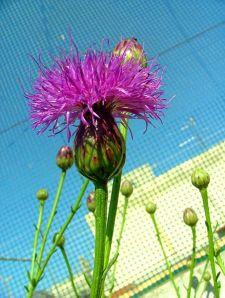 451px-Cheirolophus_crassifolius_flower