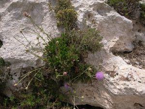 800px-Cheirolophus_crassifolius_Malta_Dingli_Cliffs_07